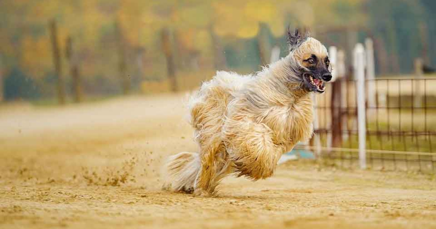 Afghane Windhund