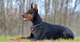 Dobermann Hund